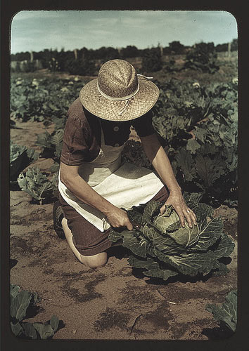 cabbage-grower